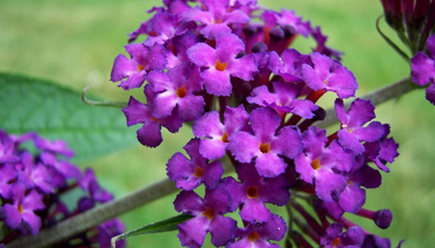 Butterfly bush in bloom