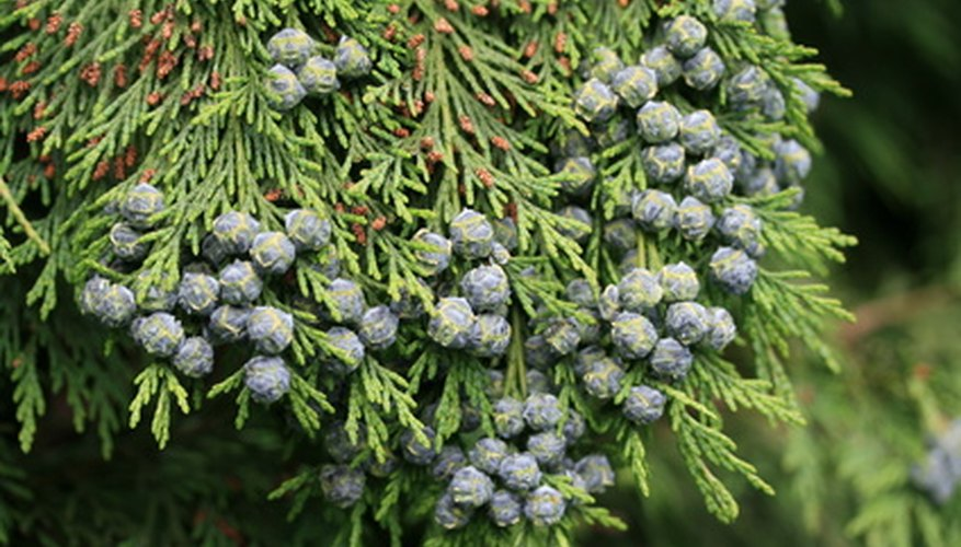 False cedar with immature cones.