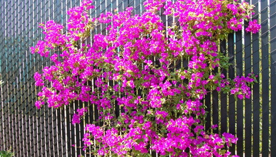 Bougainvillea supported by fence posts