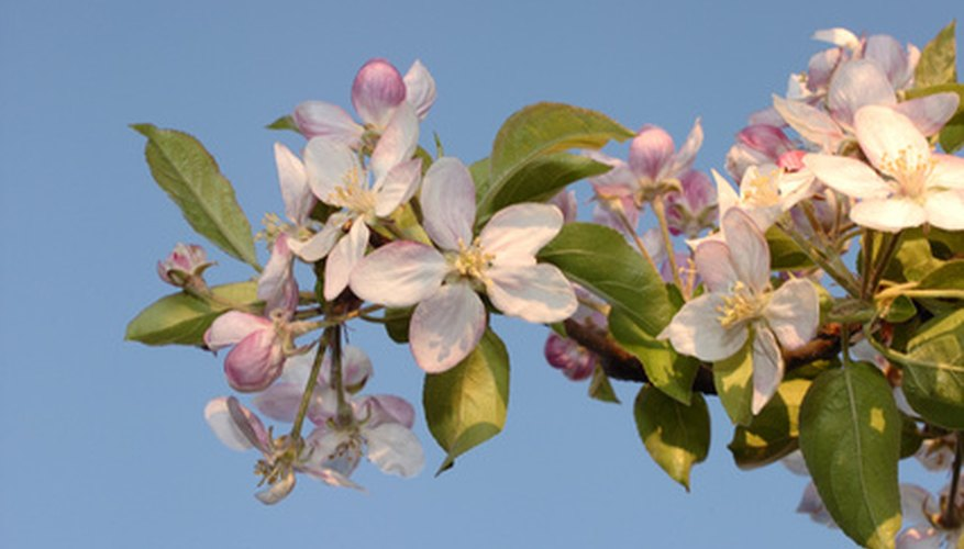 Flowering fruit tree.