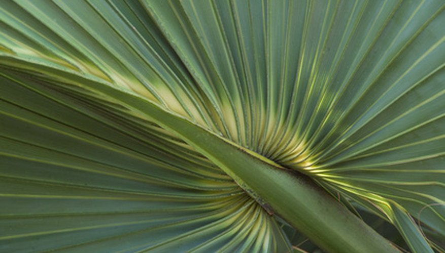 Dwarf palmetto shrubs have fan-shaped leaves.