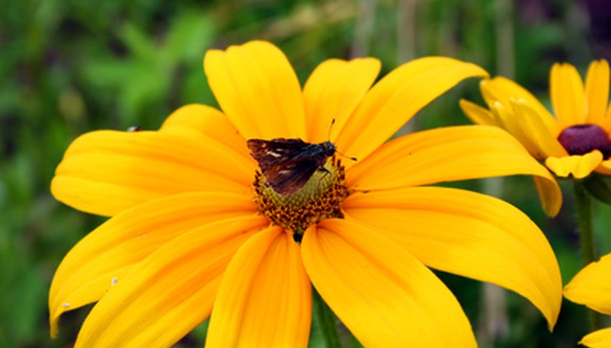 Black-eyed Susan adds a splash of color to sunny gardens.