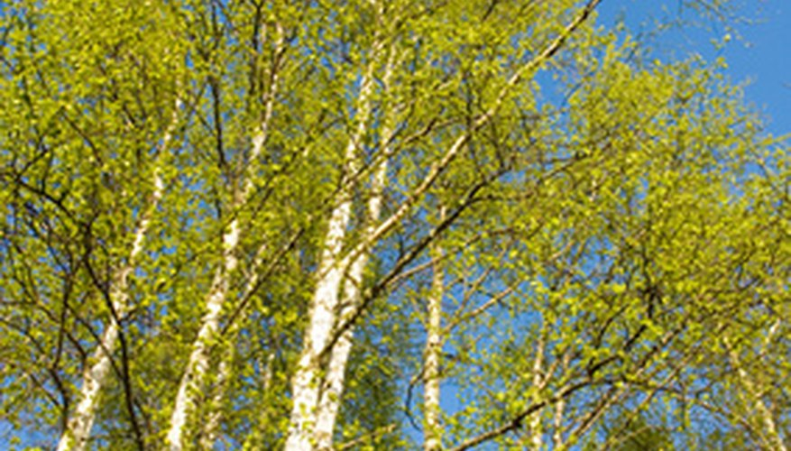 A birch tree's natural habitat is along a riverbank.