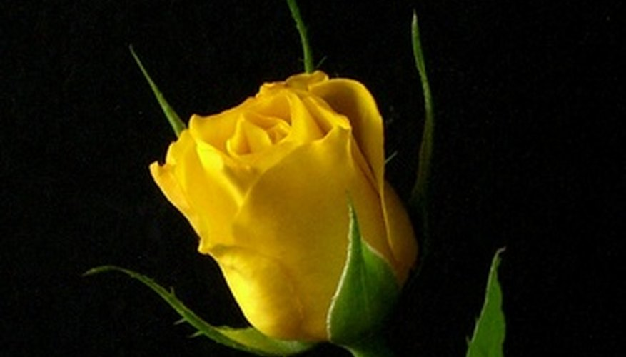 Yellow Sweetheart rose