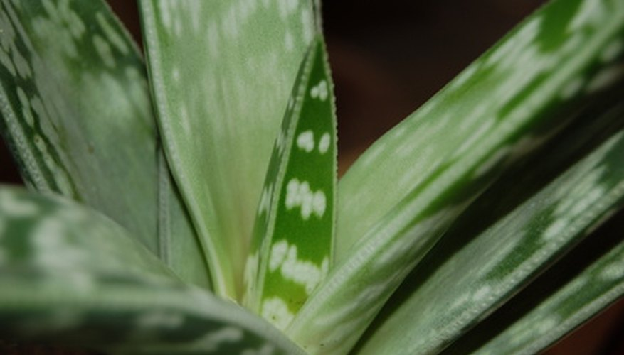 Aloe plants have variegated, succulent-like leaves.