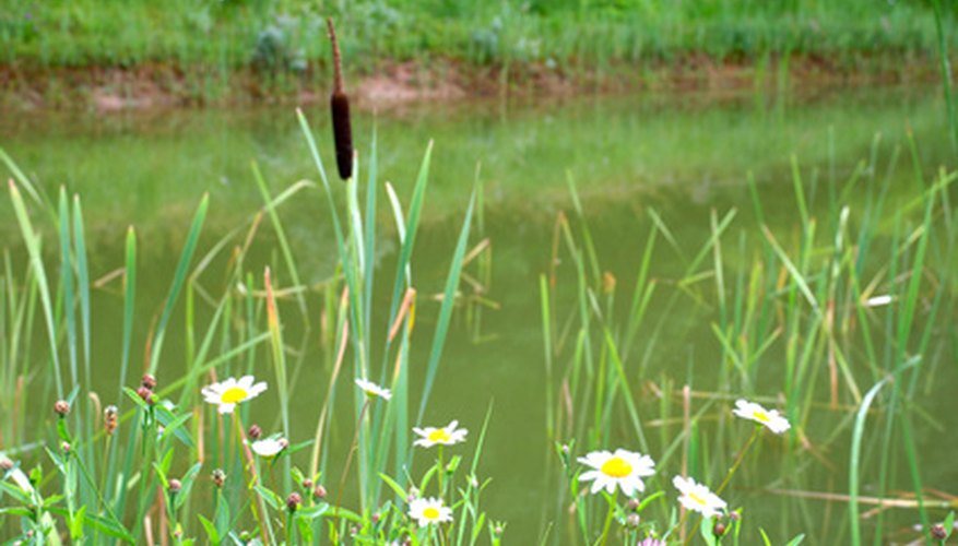 Cattails, which live near ponds, can grow up to 10 feet tall.