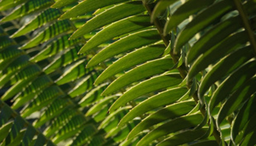Boston fern features long, graceful fronds.