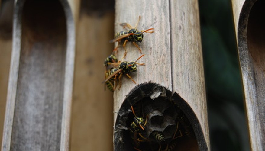 Paper wasps with nests in the wrong places are pests.