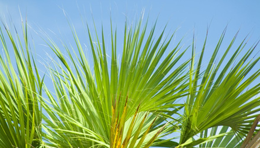 Saw palmettos form a dense clump of fan-like leaves.
