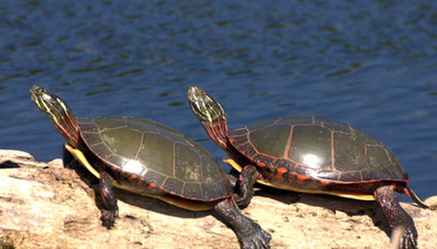 Painted turtles feed on a number of aquatic plants.