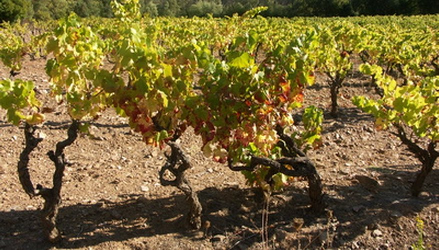 Companion plants for grapes help improve crop quality.