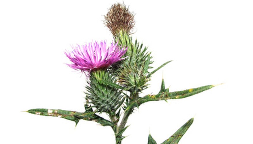 Thistle is amazingly adaptable and persistent.