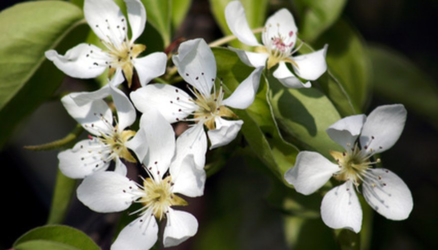 Bradford pear trees are known for their beautiful--and smelly--flowers.