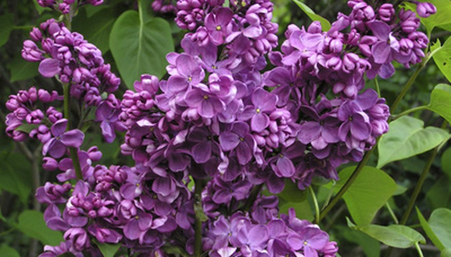Lilacs bloom in shades of white, pink and purple.