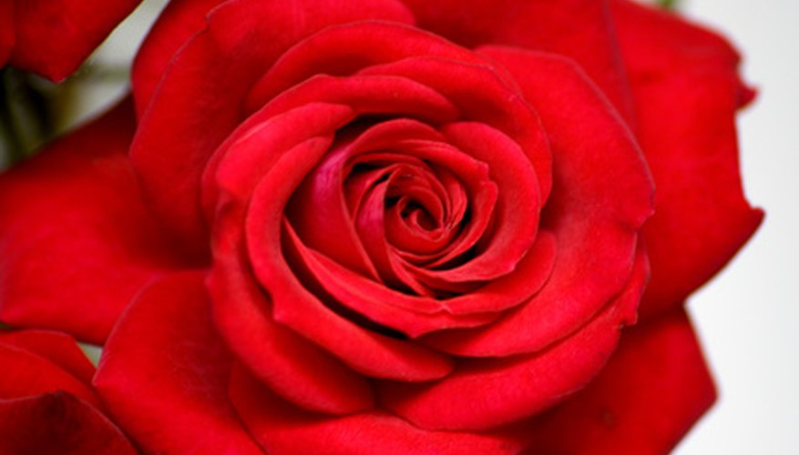 "Ancient red roses probably inspired the genus ""Rosa."""