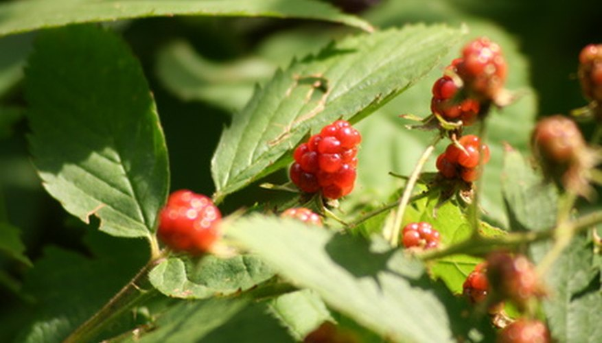 Ohio's wild raspberrie make wonderful preserves.