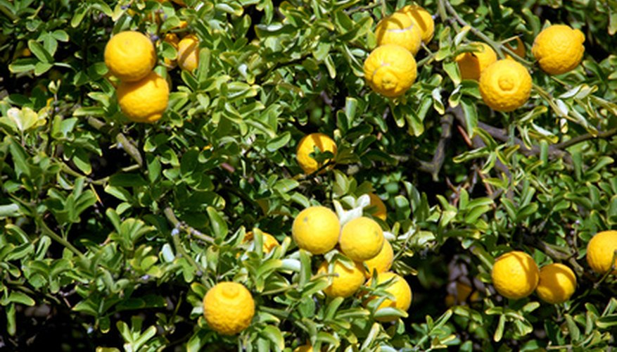 Healthy lemon tree