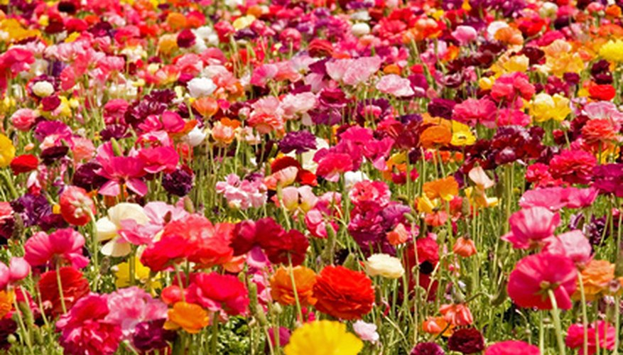 Colorful ranunculus plants.