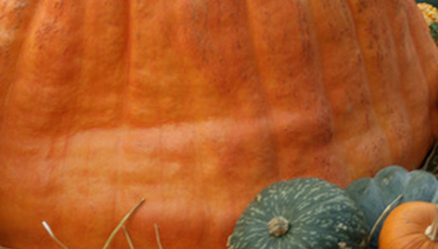 Giant pumpkins can weigh over 1,000 pounds.