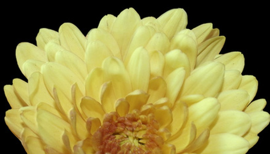 Chrysanthemum flowers grow in a rainbow of bright colors.