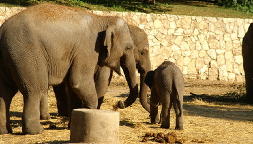 An elephant is pregnant for almost two years.