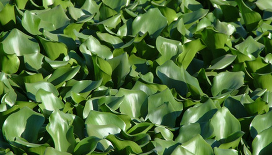 The waxy, green leaves of water hyacinth bear lavender flowers in mid-summer.