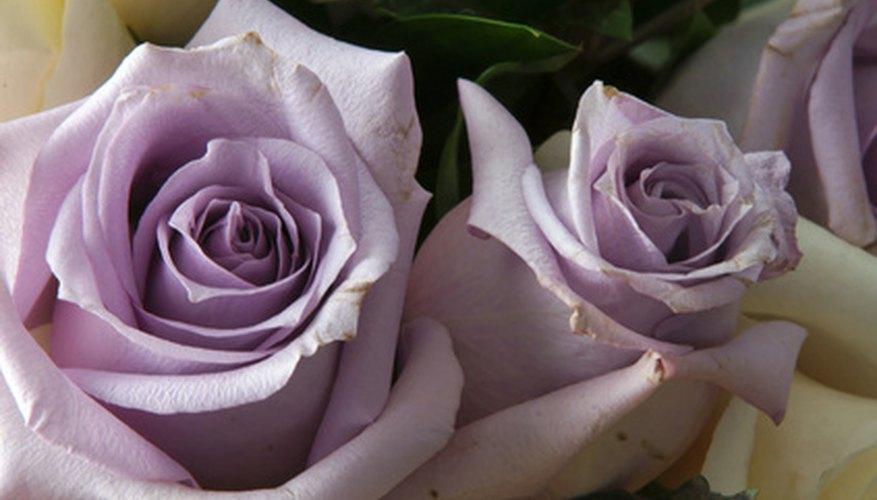 Types Of Lavender Roses Garden Guides