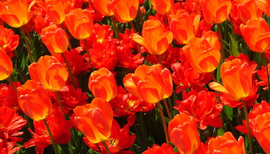 Tulips can grow well in Minnesota if treated like an annual.