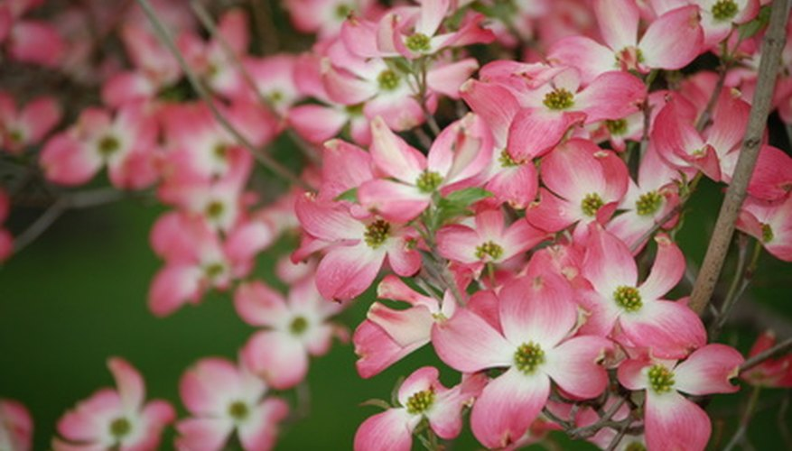 Dogwood trees grow in shaded landscapes.