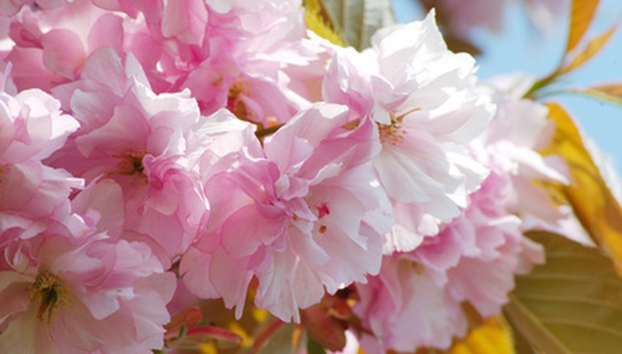 Almond trees have delicate pink and white blooms.