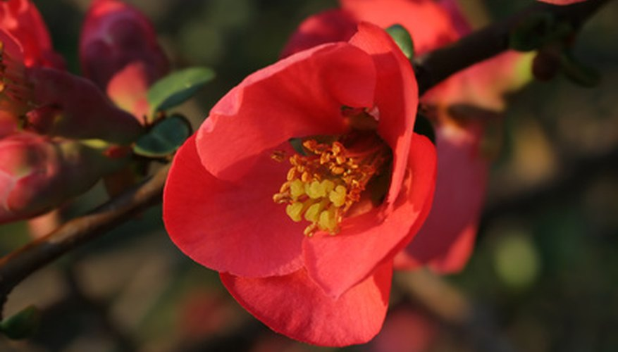 Flowering quince bloom in early spring.