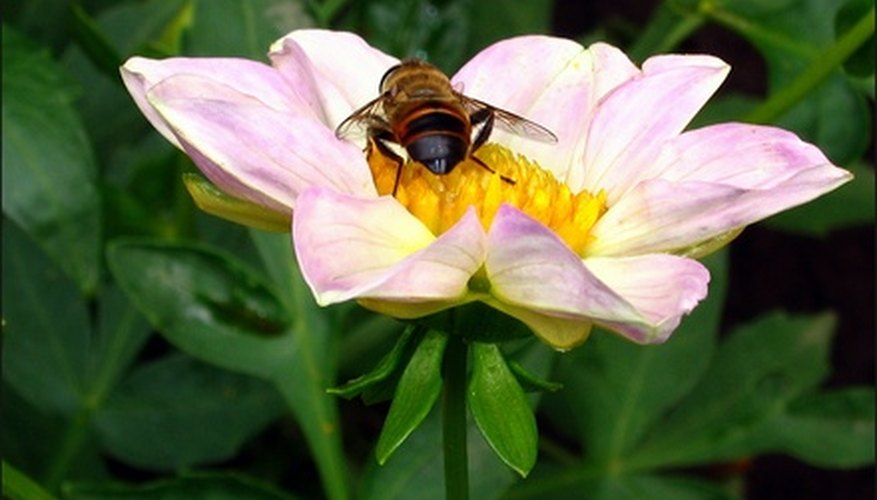 The hoverfly eats aphids