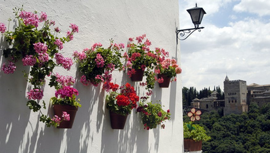 Keeping geraniums in bloom takes special attention to culture.