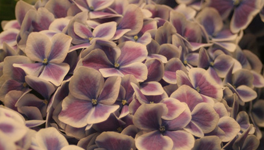 Halo Hydrangea™ blossoms are dark with lighter edges.
