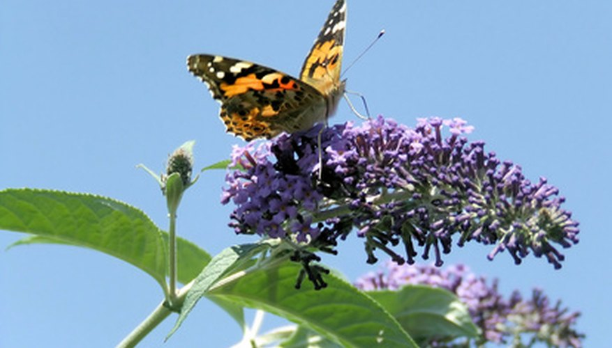 Butterflies can't resist the butterfly bush blossoms.