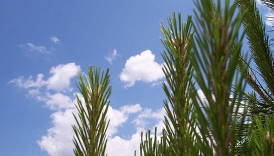 Plant pine tree seedlings in the late winter or early spring.