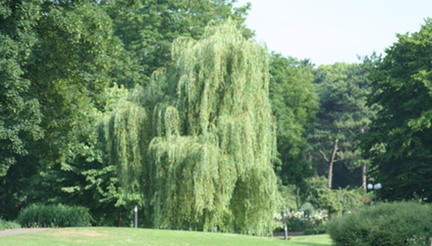 Weeping willows lose leaves when struck with disease.