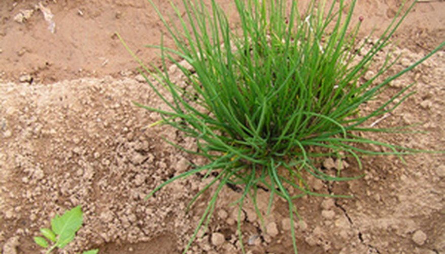 Chives are easy to grow.