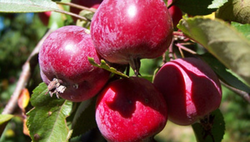 Crab apples can be cooked whole to make apple butter.