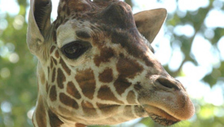 Las jirafas cuentan con un buen equipamiento para la supervivencia en su áspero ambiente.