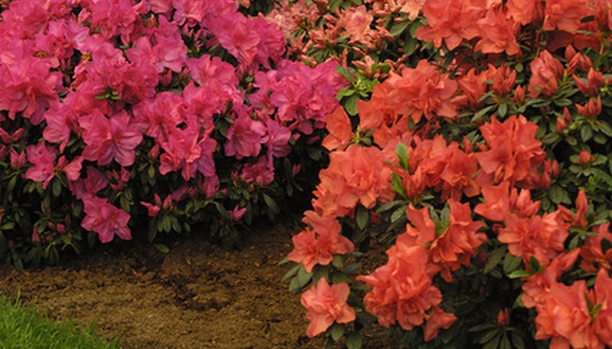 Azaleas flourish in partial shade.