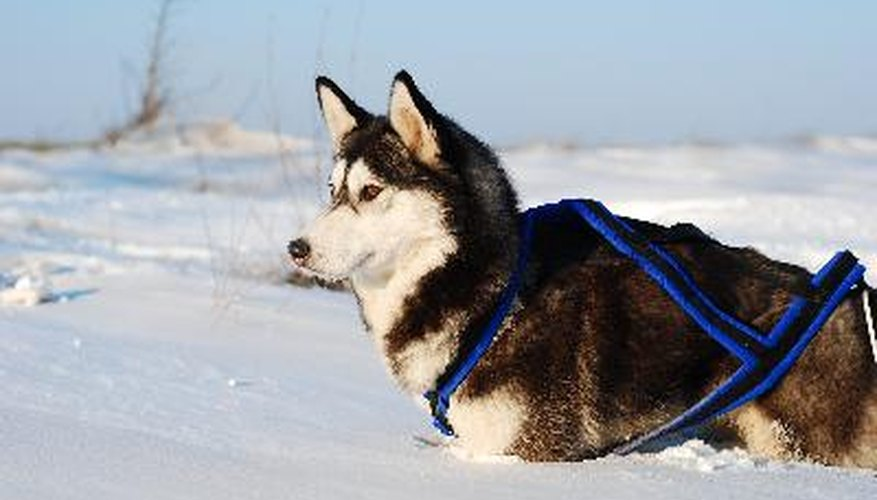 Siberian huskies pulled sleds in the emergency1925 serum run to Nome, the event that became the inspiration for the annual Iditarod sled dog race.