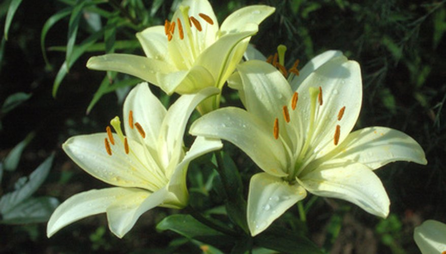 Crinum lilies are often white or cream in color.