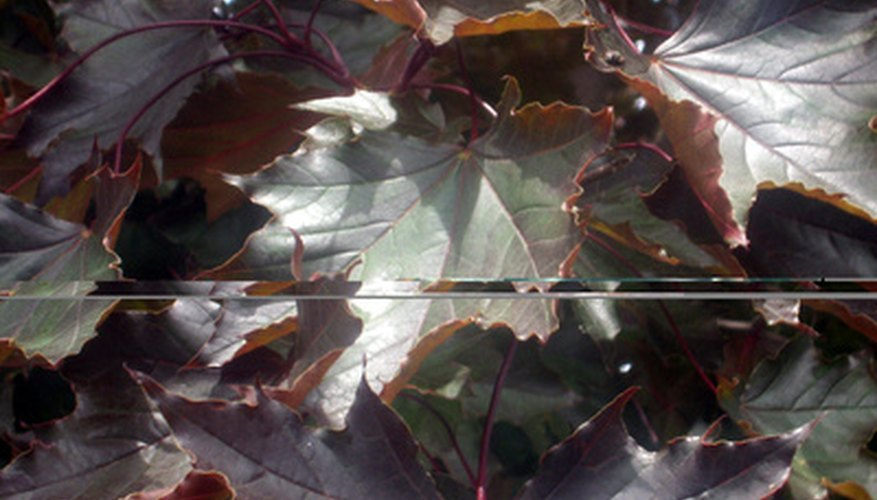 Maple tree leaves are susceptible to leaf spot, leaf hoppers and anthracnose.