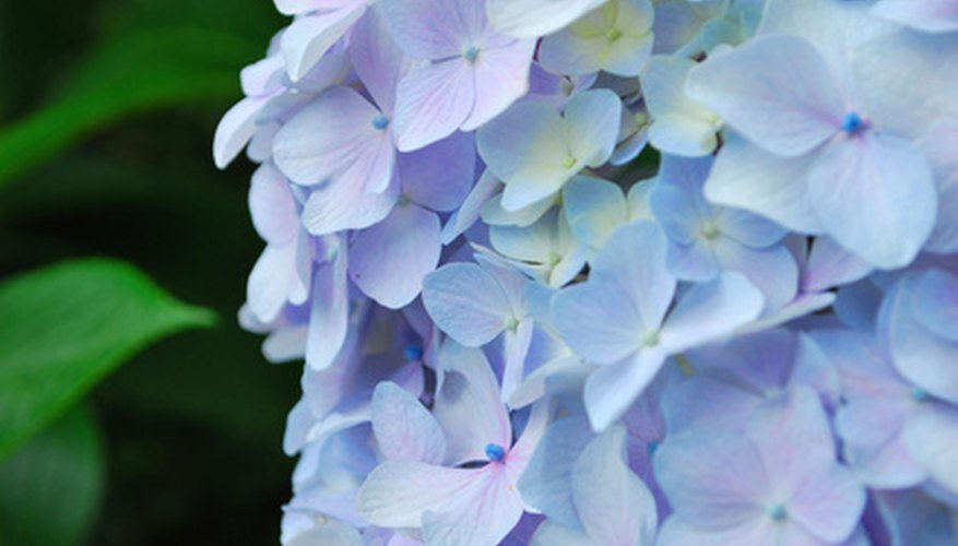 Woody hydrangeas bloom in white, blue and pink.