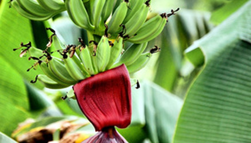 Ornamental banana plants provide attractive and interesting specimens.