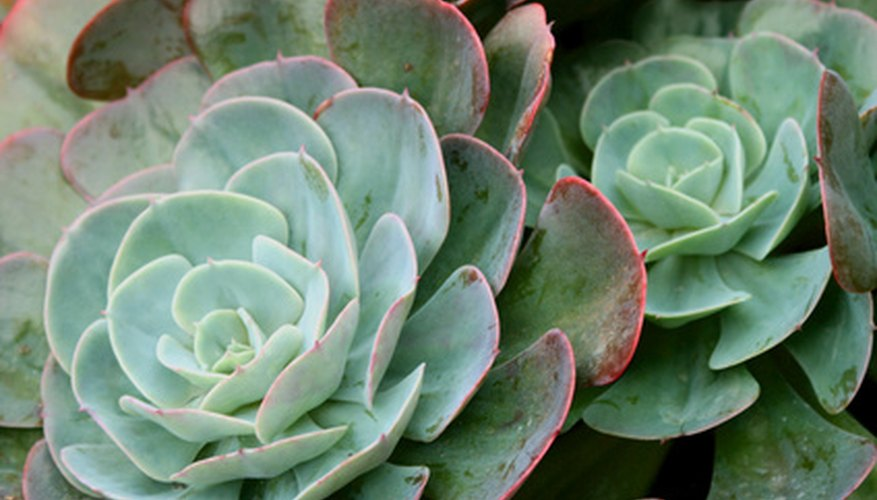 There are many forms of succulents.