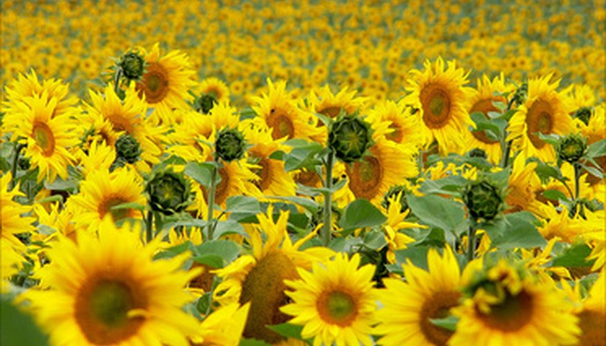 Sunflowers need full sunlight during the day.