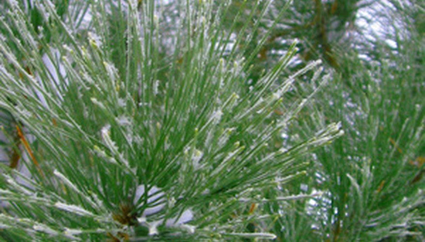 White pine boughs laced with snow and ice.