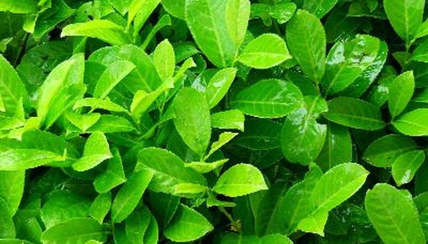 La dieta del perezoso es a base de hojas.